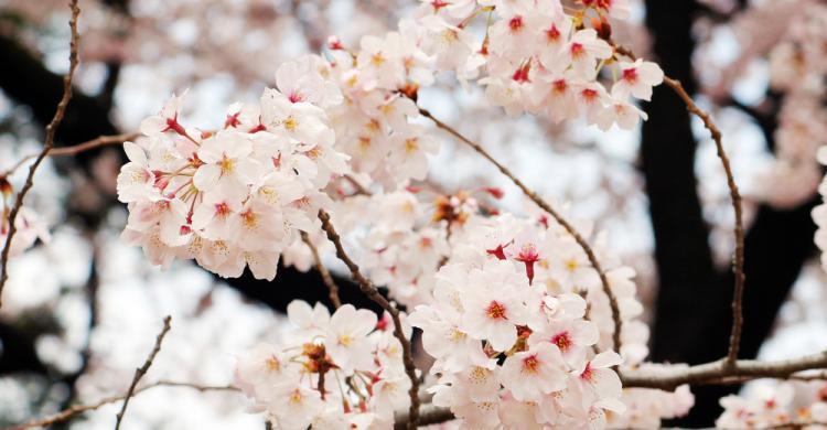 Tour Privado De Cerezos En Flor Tokio 101viajes